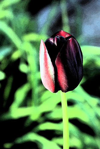 Fresco Tulip by kayaker1204