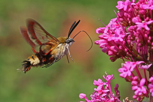 Broad-bordered Bee Hawkmoth by nutmeg66