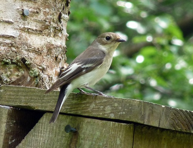 24441 - Pied Flycatcher, Elan Valley