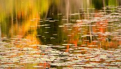 Fall reflections (Neil Budde) Tags: color fall reflections pond vermont foliage waterlilies 1o1colorful