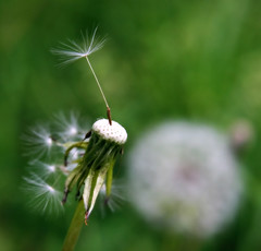 Hanging in There (aussiegall) Tags: weed seed fluffy dandelion puffball aphotoaday project365 goldenphotographer