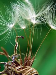 Seed (nobuflickr) Tags: flower macro nature japan kyoto soe naturesfinest shieldofexcellence anawesomeshot diamondclassphotographer flickrdiamond top20greenish