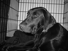 Dakota: Chocolate Lab Resting in Dog Crate