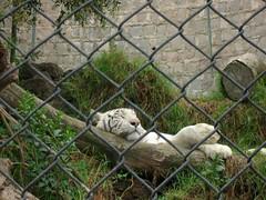 Tigre Blanco (Antfama) Tags: chile zoo animales tigreblanco parquemetropolitanodesantiago zoologiconacional