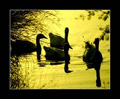 floating silhouettes in a golden pond (!!sahrizvi!!) Tags: pakistan nature beautiful silhouette outdoor vivid rizvi sahrizvi sarizvi aplusphoto
