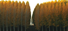 Split in the grove (walla2chick) Tags: autumn trees usa color fall or cottonwoods poplars umatilla