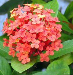 Menininha do Portão (S Cappuccio) Tags: plant flower color macro planta nature cores sony natureza flor h9 cappuccio dsch9 sandracappuccio