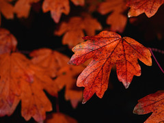 Autumn leaves (Rachael Todd) Tags: autumn red color macro fall leave leaves leaf colorful colourful rachaeltodd winnerbc