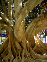 Ficus Macrophylla (Yoajenjo) Tags: nature valencia beautiful wow ficus inspire nikoncoolpix thebiggestgroup aplusphoto treesubject panterre themostonflickr