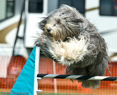 hairy dog jumping