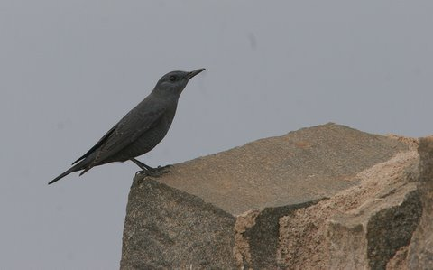 blue rock thrush winter male