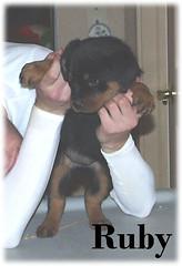 r1 (muslovedogs) Tags: dogs puppy rottweiler teaara zeusoffspring