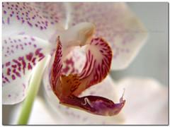 pastel (silviaON) Tags: winter orchid flower macro nature germany europe close sony january indoor 2008 oberhausen excellence blueribbonwinner flowerotica dsch5 abigfave anawesomeshot diamondclassphotographer flickrdiamond macroaward