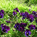 "Purple Pansies • <a style=""font-size:0.8em;"" href=""https://www.flickr.com/photos/78624443@N00/2223757265/"" target=""_blank"">View on Flickr</a>"