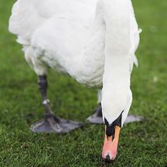 Munching Grass (jeankes) Tags: park uk london swan eatinggrass