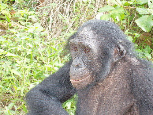 Bonobo at Lola ya Bonobo