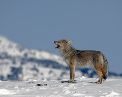 Howling Coyote - Yellowstone (Dave Stiles) Tags: coyote winter wildlife yellowstonenationalpark yellowstone stiles canislatrans specanimal yellowstonewildlife naturewatcher wintercoyote ynpwinter2008