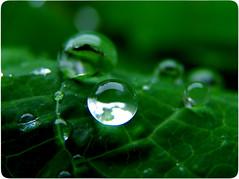 (Felipe Rossetto) Tags: macro nature water leaves rain gua chuva raindrops gota waterdrops fpc challengeyouwinner duetos canonpowershots5is canons5is platinumheartaward