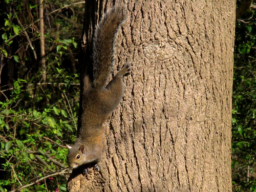CrabAppleLane Squirrel - March 16, 2008