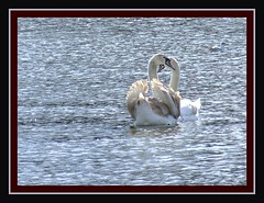 March 27th 2008 (Raynah Thomas) Tags: love water birds heart romance swans christymoore hpad lumpygolightly twoislandswans hpad270308