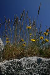 Desert (MikeyGumn) Tags: flowers blue sky blackandwhite green grass yellow wall barn bristol landscape countryside farm country bluesky lundy notphotoshopped bristolchannel uob sobs isleoflundy