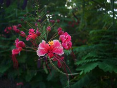 in the garden at La Sagesse (Grenadad) Tags: pink red flower green bokeh smooth grenada prideofbarbados lasagesse causeidontgetupset