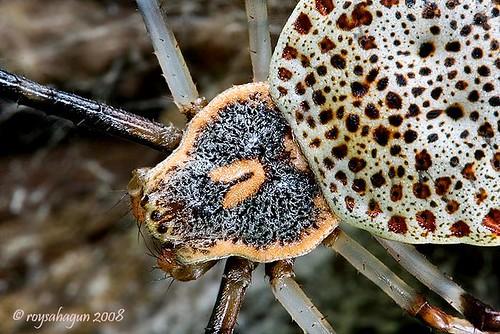 паук — крупнейший на Земле