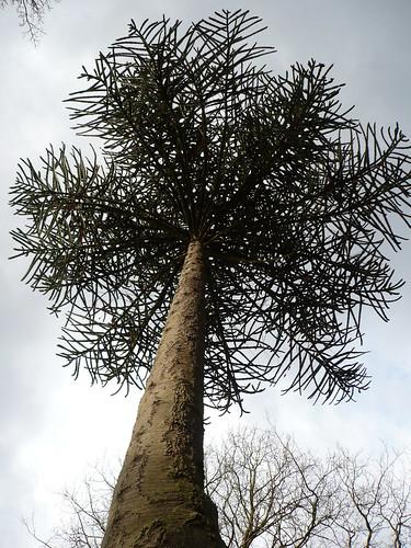 Araucaria Araucana (Pehuen)