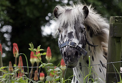 MINIATURE PONY STALLION: THE WILD WEST (pg tips2) Tags: horse freedom miniatures miniature grant pg peter pony arab views ponies arabian russian grassland youngster wildwest colt 1000 stud 1k cranleigh praries thewildwest miniatureponies arabhorse cranleighstud arabhorses pgtips2