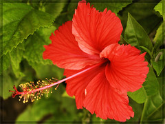 056 (Hassan Dar) Tags: flowers red flower nature beautiful hibiscus flowerwatcher macroflowerlovers awesomeblossoms