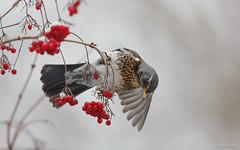 Kramsvogel - Fieldfare - Turdus pilaris -9967 (Theo Locher) Tags: kramsvogel fieldfare wacholderdrossel grivelitorne turduspilaris vogels birds vogel oiseaux netherlands nederland copyrighttheolocher