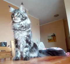 Maine coon cat (romeosilverpersian) Tags: mainecoon tabby browntabby cats catphotos catbreeds purebredcats kitten kittens kitty pet pets animalidomestici animals
