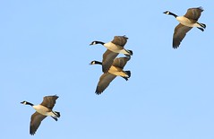 Canada geese at Cardinal Marsh IA 854A7012 (lreis_naturalist) Tags: canada geese cardinal marsh winneshiek county iowa larry reis