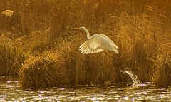 egret takes off (hardy-gjK) Tags: egret nikon hardy birds waterbird nature wildlife water lake etang oiseaux reed light morning morgenlicht schilf vögel wasservögel animals tiere