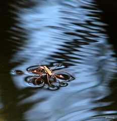 Water Skimmers