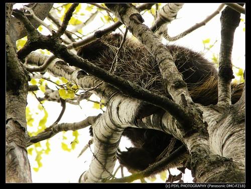 Porcupine (Erethizon dorsatum)