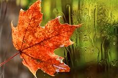 Feuille rouge sur fond vert    Isabelle Langlois (Isabelle Langlois1) Tags: canada macro green up closeup canon studio leaf aperture quebec explore fourseasons isabelle langlois