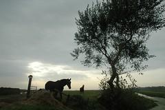 Bergen (Baijg) Tags: horses paarden pferden beetjesamshepardgevoelinnoordholland oktoberlucht