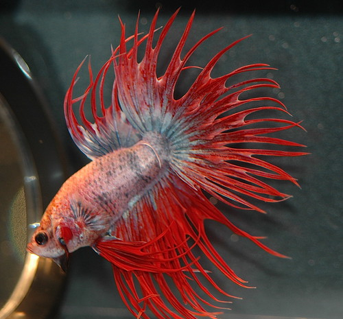 Betta, the perfect starter fish for the freshwater aquarium enthusiast