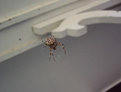 Arachnaphobia (Tomitheos) Tags: autumn canada macro halloween spider scary october flickr web arachnid fear daily suspended predator now today eeek orbspider 2007 araneusdiadematus arachnaphobia antigravity creepycrawly arachnophobe arachniphobia arachnofobia aracnophobia arachnephobia archnophobia tomitheos defendersmacro extremephotos arachophobia aracknophobia araknophobia toronrotoronto