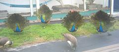 peacock teens loitering by batting cage (vashtirama) Tags: local floraandfauna peacocks localfauna