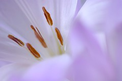 Flower #61 Colchicum (Mihoko Ozaki) Tags: white flower macro eos dof purple bokeh days colchicum