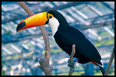 Toucan at Kacho-en (Eric Flexyourhead) Tags: bird japan toucan colourful kakegawa kachoen zd olympuse500 40150mm ramphastostoco tocotoucan shizuokaken
