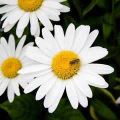 BU765 Daisy (listentoreason) Tags: usa white plant flower color nature closeup america canon newjersey unitedstates random places daisy capemay asteraceae compositae dicot magnoliophyta asterales angiosperm ef28135mmf3556isusm score40