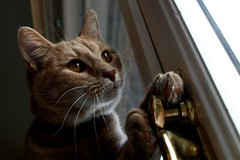 Hobie the Locksmith (Elkay 724) Tags: pet cats pets cat catwomen ginger kitten feline lock kitty kittens gatos kitties buff meow felines creamsicle locksmith houdini gingercats creamsicles oreengeness hobiejones