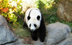 Animal - Panda - Tai Shan - Panda Bear