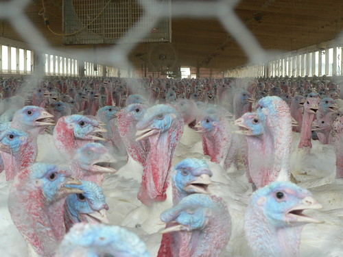 Free-range Turkeys
