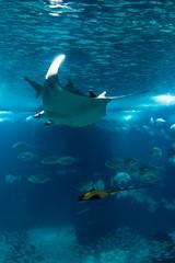 Rayas (DavidGorgojo) Tags: ocean blue fish rayas water azul agua lisboa peces ocano ocenario