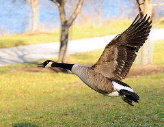 Escape (ozoni11) Tags: lake bird nature birds animal animals fly flying geese wings nikon wildlife flight wing lakes goose explore wetlands waterfowl winged canadagoose canadageese wetland d300 centenniallake interestingness342 i500 animaladdiction michaeloberman explore342 anawesomeshot ozoni11 nikond300