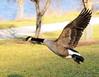 Escape (ozoni11) Tags: lake bird nature birds animal animals fly flying geese wings nikon wildlife flight wing lakes goose explore wetlands waterfowl winged canadagoose canadageese wetland d300 centenniallake interestingness342 i500 animaladdiction michaeloberman explore342 anawesomeshot ozoni11 nikond300